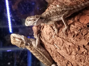 Baby bearded dragons at The Extreme Aquarium !