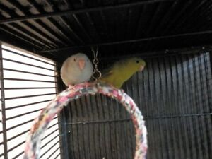 Lineated parakeets and cage