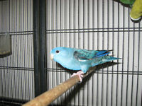 Proven breeding pair of linnies for $300 firm