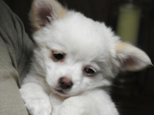 PURE BRED CHIHUAHUA PUPPIES  - AVAILABLE NOW - LAST TWO