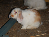 Cute Lop Bunnies   DOB June 1 st..ready this weekend