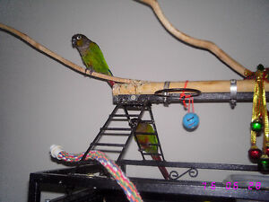 Beautiful Green Cheeked Conure Parrots Windsor Region Ontario image 6