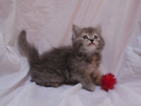 Fluffy Maine Coon Kittens