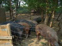 Heritage weaner pigs and breeding stock for sale