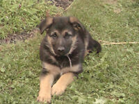 One Beautiful German Shepherd Puppy looking for a loving home