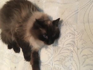 Pure breed seal point rag doll
