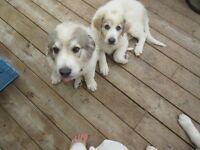 REDUCED: Great Pyrenees one qarter Maremma sheep dog