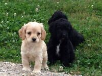 Adorable and Super Sweet Cockapoo Puppies