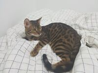 Chat Bengal Pure Race