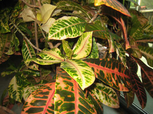 Croton Live Tree Planter. (Codiaeum Variegatum) Includes Planter