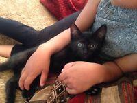 Black male kitten, 9 weeks old