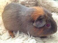Female skinny carrier guinea pig