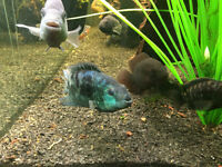 Beautiful & DOCILE Electric Blue Jack Dempsey- Good 4 Community