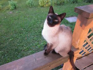 Missing from east Pictou - Siamese Cat