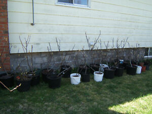 Fig tree collection
