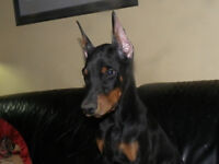 doberman puppies ears cropped