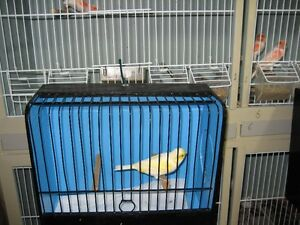 Singing Canaries for sale
