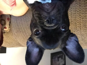 Brindle French Bulldog Puppy 8 months old