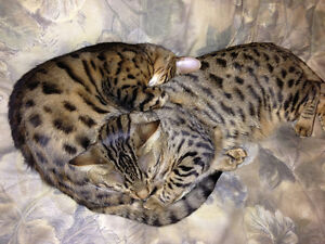 2 sister bengal cats looking for their forever home.