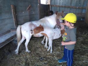 1  jeune poulain poney miniature $500. +$500 avec la mère