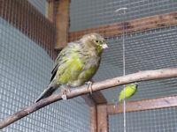 canari mâle de 4 mois.