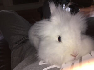 Lionhead doe (breeding or pet home) with cage!