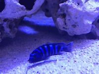 Damasoni Malawi chiclid tropical fish for Aquarium and fish tank Leicester