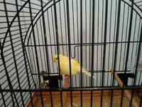yellow male border canary for sale