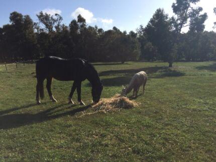 Alpacas 2 white Suri females  Chittering Chittering Area Preview