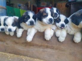 St Bernard Pups Puppy