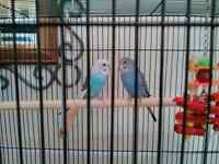 Two Budgie's