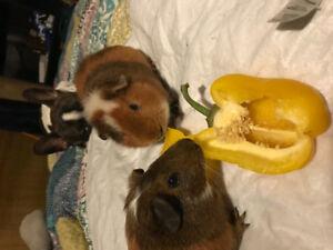 Two male guinea pigs FREE to good home