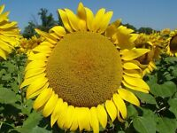 LOOKING for a sunflower head for classroom