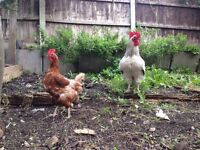 "*FREE"" 4 Egg Laying Healthy Chickens:"