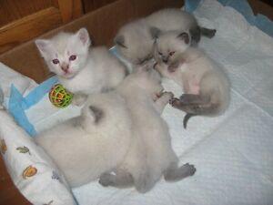 Britishshorthair - Lynx Point Siamese kittens