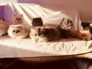 Beautiful Persian Kittens 1 Blue 1 White 1 Cream