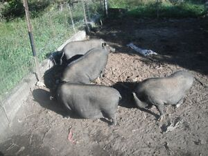 pot belly pigs to good home.