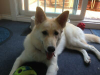 BEAUTIFUL  7 MONTHS HUSKY/GERMAN SHEPARD LOOKING FOR A LOVELY HO
