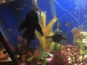 Large and medium plecos available