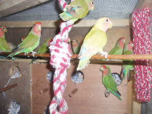 LOVEBIRDS PEACH FACE AND WHITE FACE
