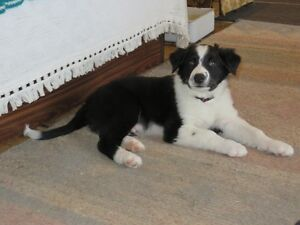CBCA REGISTERED BORDER COLLIE PUPPIES - 10 WEEKS
