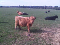 Two pure bred highland bull calves.