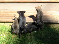 ONE LEFT~~~~Adorable Pomchi Puppies For Sale~~~~
