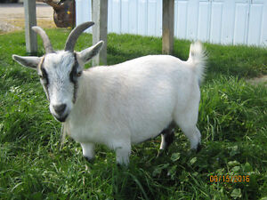 Pygmy Goat looking for love!