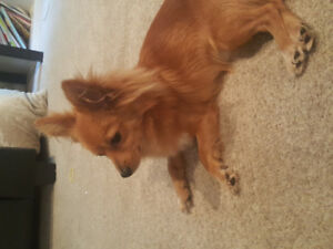 Looking to rehome our 1 year old Pomeranian x Chihuahua