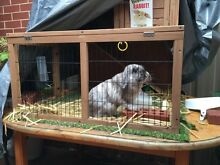 Male Lop Eared Rabbit Adelaide CBD Adelaide City Preview