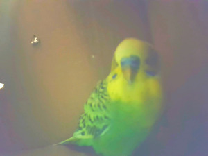 Found Budgie -Vaughan area