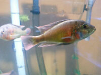 "pure christmas fulu   ""african cichlids"""