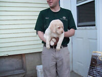 Lab Puppies #0027