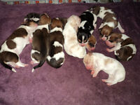PUREBRED BASSET HOUND PUPPIES with A LOT OF LOVE TO GIVE
